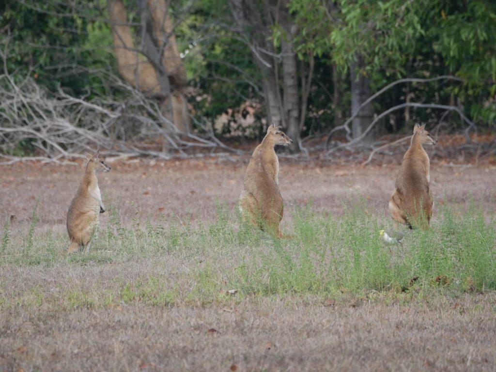koala's en kangoeroes